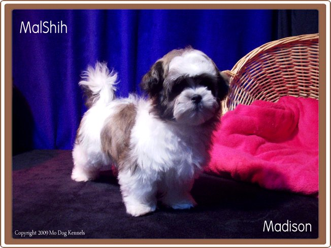Mal Shi Puppy For Sale Important Breed Information